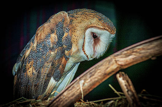 Louis Dallara - Sad Owl in the Barn