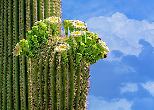 Saguaro In Bloom h1508 by Mark Myhaver