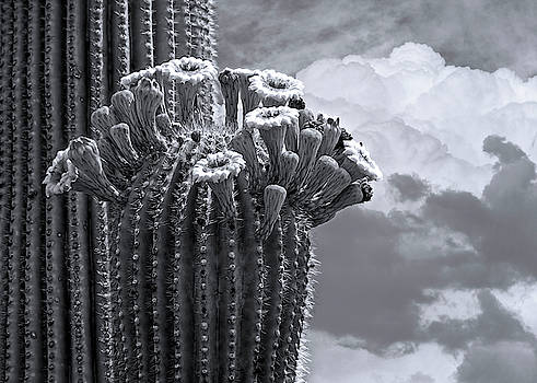 Saguaro In Bloom hb1509 by Mark Myhaver