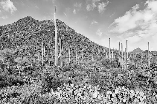 Melanie Viola - SAGUARO NATIONAL PARK Desert Scenery - monochrome