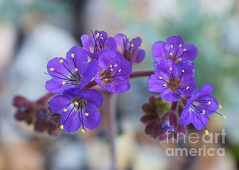 Janet Marie - Saguaro National Park - Purple Passion Phacelia
