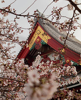 Sakura flowers and temple by Nate Richards