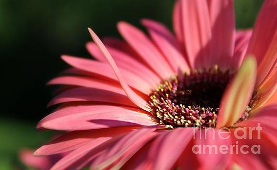 Salmon Daisy by Denise Irving