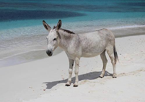 Sam The Wild Donkey Of St. John by Fiona Kennard
