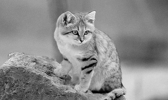 Sand Cat in black and white by Fred Hood