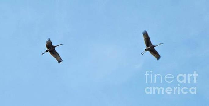 Sandhill Crane Pair In Flight             May            Indiana by Rory Cubel