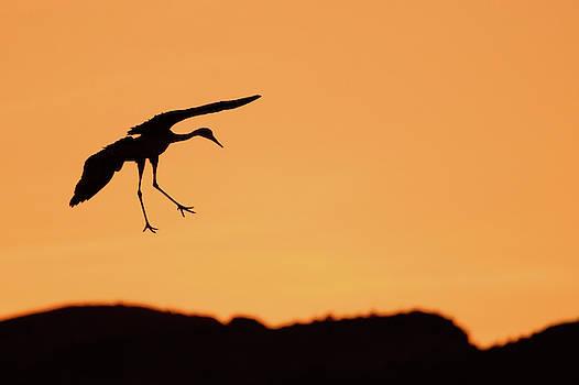 Sandhill Crane Silhouette by Nicole Young