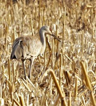 Sandhill Crane  Young Adult            Spring           Indiana by Rory Cubel