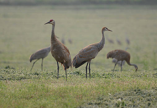 Sandhill Cranes- Adult and Colt by Whispering Peaks Photography