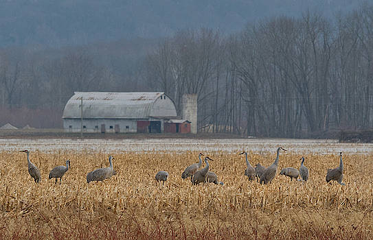 Sandhill Cranes and Barn in Indiana by Ina Kratzsch