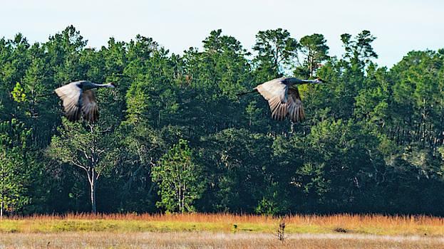 Sandhill Cranes Take Flight Ocala National Forest Florida by Lawrence S Richardson Jr