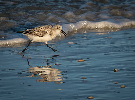 Sandpiper Looking for Food by Jeffrey Klug