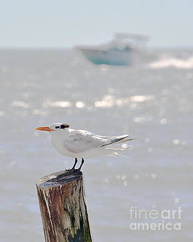 Royal Tern in Florida by Catherine Sherman