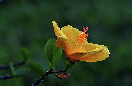 Sanibal Hibiscus At Dusk by William Tasker
