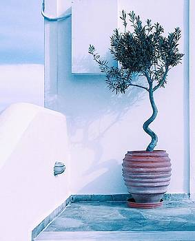 Santorini Olive tree by Angela Seager