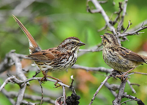 Savannah Sparrow Parent and Youngster 1 by Linda Brody