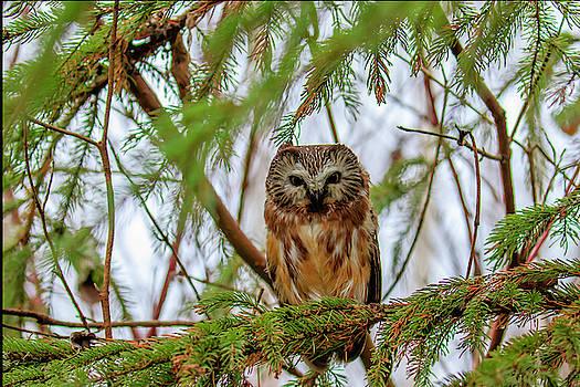 Gary Hall - Saw-whet Owl