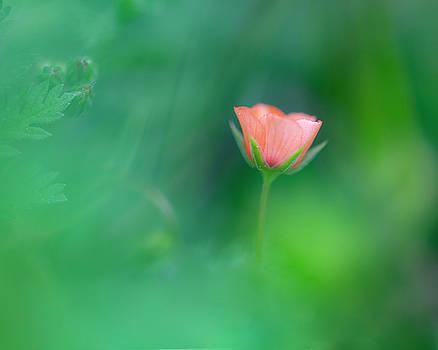 Scarlet Pimpernel by John Rodrigues
