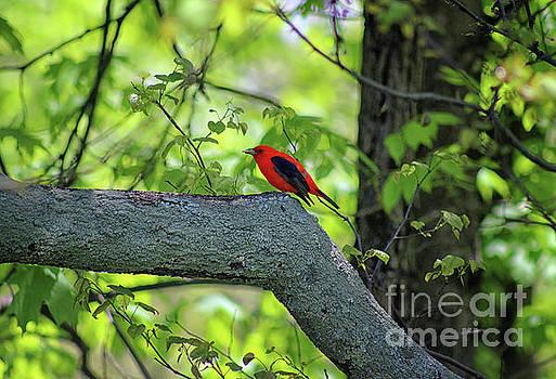 Scarlet Tanager Bird 2019 by Karen Adams