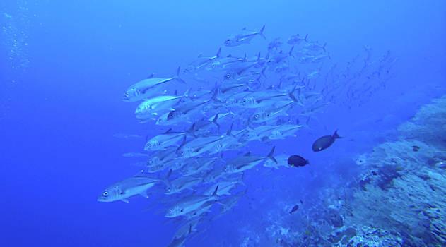 School of jacks in the blue ocean by Paul Ranky