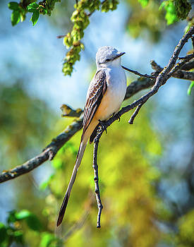 Scissortail Flycatcher by Steve Marler