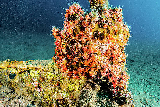 Scorpion fish in the Red Sea by Avner Efrati