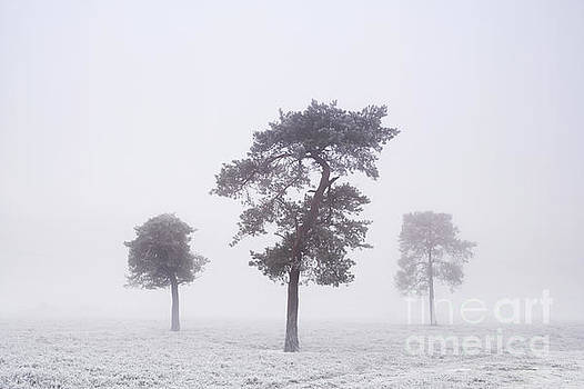 Pines in winter by Colin Roberts