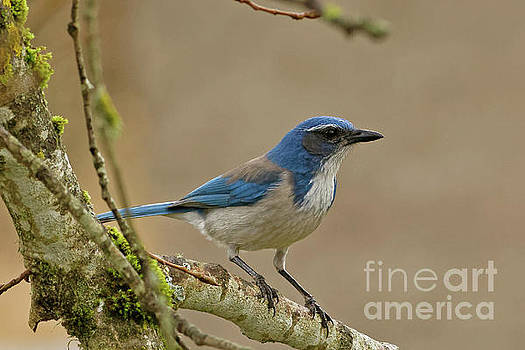 Scrub Jay by Natural Focal Point Photography