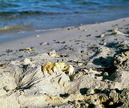 Sea crab by Eugenio Opitz