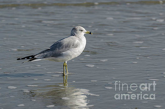 Sea Gull - Atlantic Ocean by Dale Powell