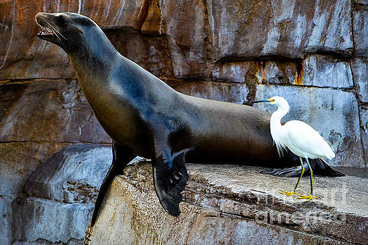 Sea Lion and Snowy Egret by SoxyGal Photography