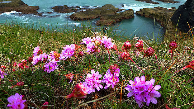 Sea Pink on a Cornish Cliff-top by Chris Gill