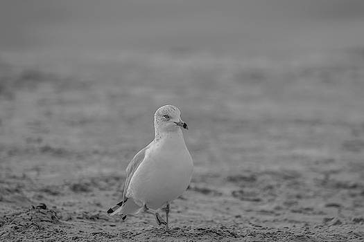 Seagull in Black and White by Constance Puttkemery