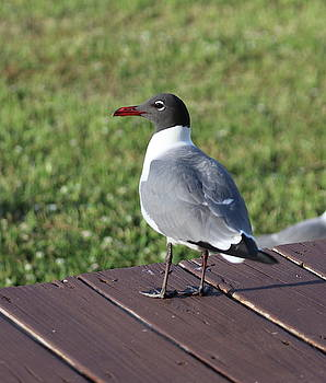 Seagull On Deck 3 by Cathy Lindsey