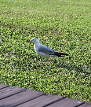 Seagull On Grass by Cathy Lindsey