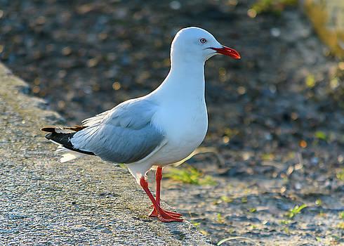 Seagull on the Breakwall by Merrillie Redden