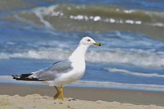 Seagull Strutten by William Fox