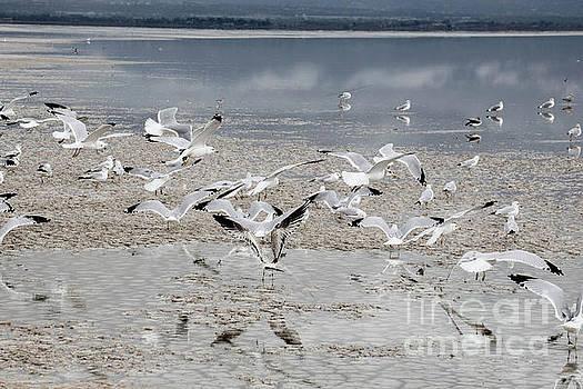 Seagulls landing by Randy Kostichka