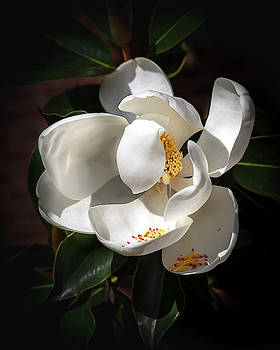 Seminary Magnolia 2  by Harriet Feagin