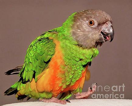 Senegal Parrot by Debbie Stahre