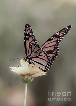 Sephia Tone Monarch by Linda Troski