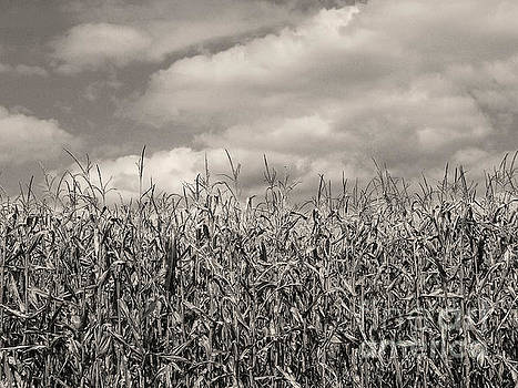 Sepia Field of Corn by Phil Perkins