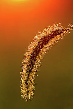 September Fountain Grass Plume by Rick Grisolano Photography LLC