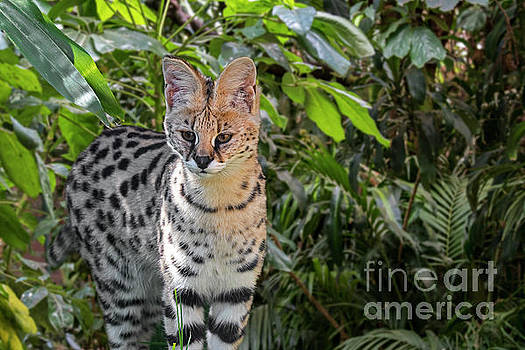 Serval by Arterra Picture Library