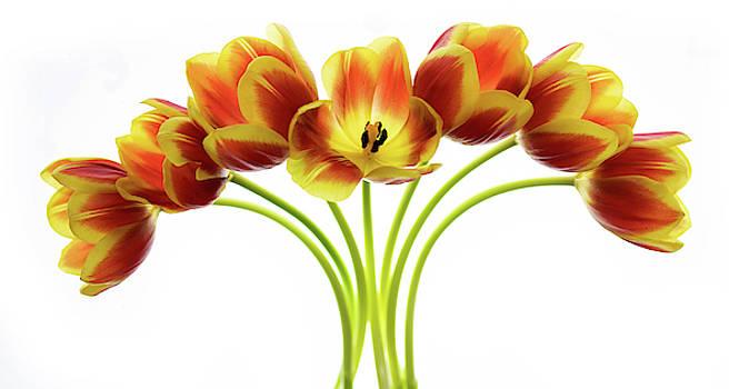 Seven Orange Tulips by Rebecca Cozart