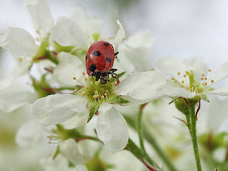 Seven-spot ladybird on Bird cherry flowers by Jouko Lehto