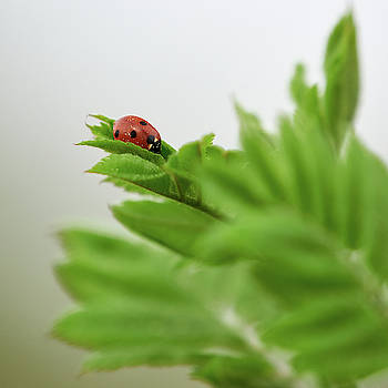 Seven-spot ladybird on Rowen tree by Jouko Lehto