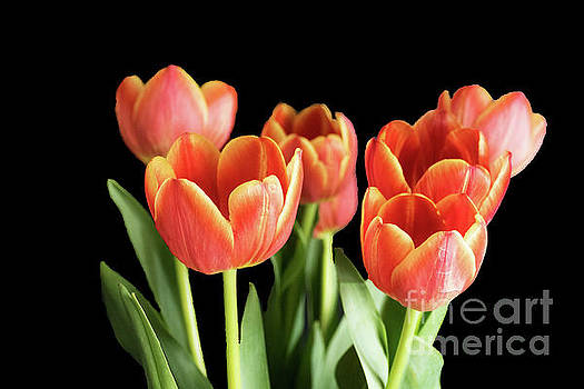 Seven Tulips by Lynn Bolt