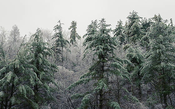 Several Evergreen trees stands above a forest of white icy trees on the mountainside. by Ryan Hoel
