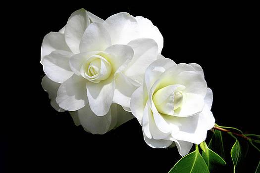 Sexy Camellias by Debra Orlean
